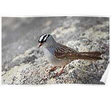 Singing White Crowned Sparrow Poster