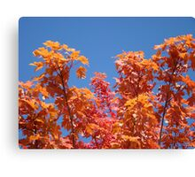 Blue Sky Sunny Red Orange Autumn Leaves art prints Canvas Print