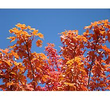 Blue Sky Sunny Red Orange Autumn Leaves art prints Photographic Print