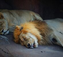 Sleeping lions by Mark Walker