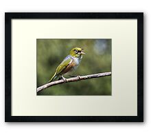 Silver Eye.....I will sing you a song.......! Framed Print