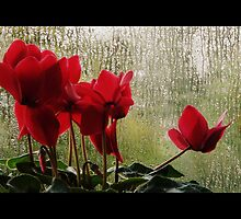 CYCLAMEN IN CINEMASCOPE by Doria Fochi