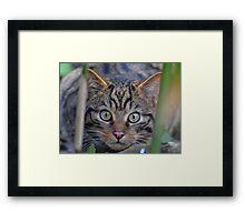Scottish Wildcat Stare Framed Print