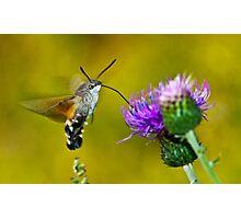 Macroglossum stellatarum Photographic Print