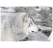 Timber Wolf Profile Poster