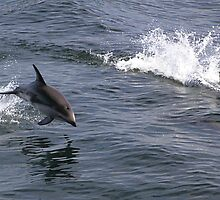Peale's Dolphins Porpoising by Carole-Anne