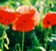 Poppy I. by Zuzana Vajdova