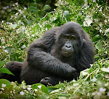 young mountain gorilla, BwindiUganda by travel4pictures