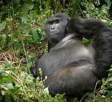 silverback mountain gorilla, Bwindi, Uganda by travel4pictures