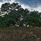 Live Oak at Dusk by Colin Bester