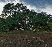 Live Oak at Dusk by Colin Bester