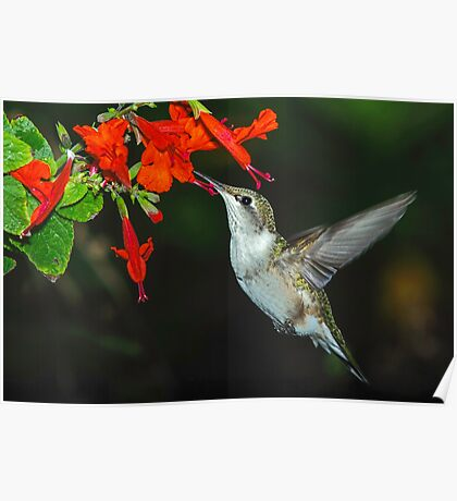 Hummingbird on Salvia Poster