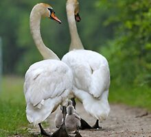 Swan family outing by melbertmole