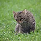 Scottish Wildcat Kitten by Gill Langridge