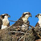 Osprey family photo:Remember everything i taught you kids!! by jozi1