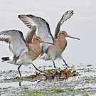 Black Tailed Godwits by Alan Forder