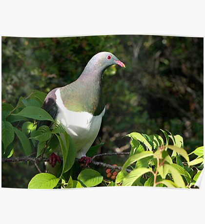 Kereru - NZ Native Wood Pigeon - Lunchtime with the cherry on top.....! Poster