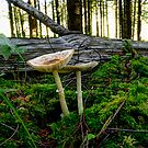Standing Together ~ Mushrooms ~ by Charles & Patricia   Harkins ~ Picture Oregon