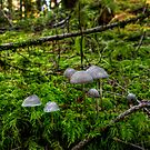 Standing On Their Own ~ Mushrooms ~ by Charles & Patricia   Harkins ~ Picture Oregon