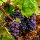 We Bunch Up ~ Grapes ~ by Charles & Patricia   Harkins ~ Picture Oregon
