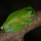 Australian Green Tree Frog by Bami