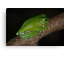 Australian Green Tree Frog Canvas Print