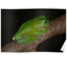 Australian Green Tree Frog Poster