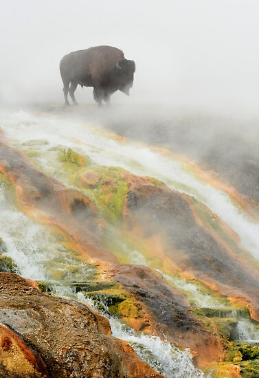 Bison in Geyser Mist by Sherry Adkins