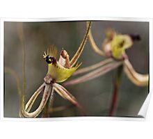 Caladenia falcata Poster
