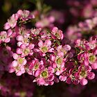 Tea Tree - Leptospermum by SusanAdey