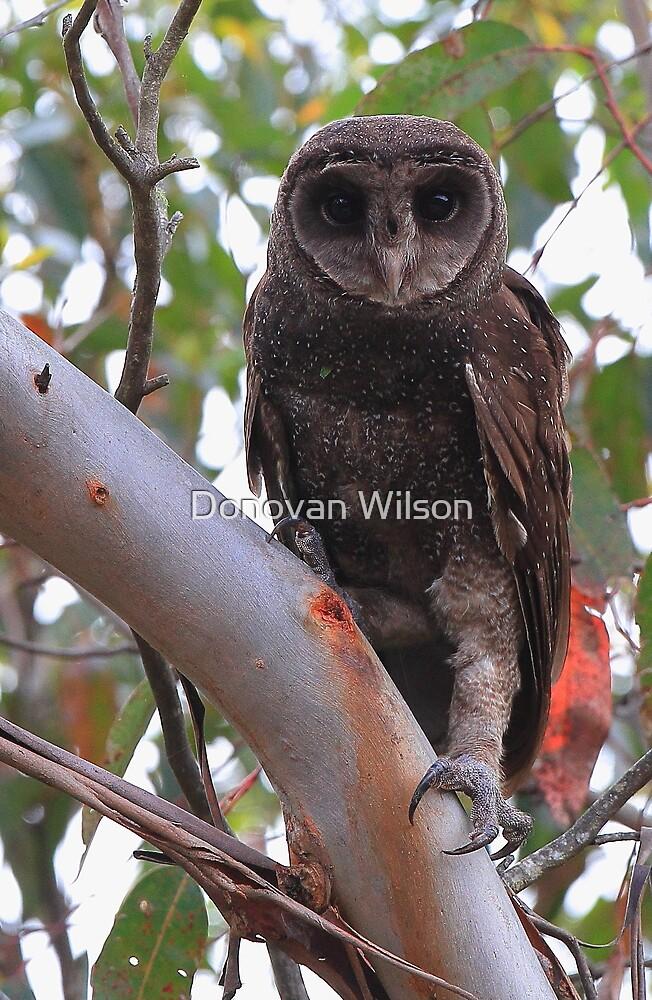 Sooty Owl  Tyto Tenebricosa  by Donovan Wilson