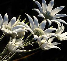 Australian Flannel Flower by Gabrielle  Lees