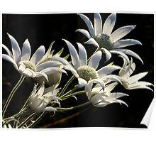 Australian Flannel Flower Poster