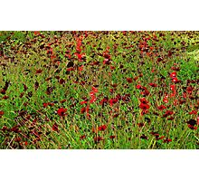 Hamburg. Poppies at the International Garden Show Photographic Print