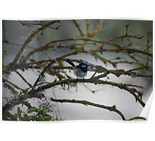 Superb Fairy Wren Poster