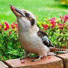 Kookaburra who visits my garden. by Bev Pascoe