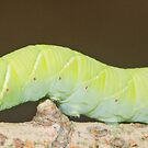 Hawk-moth / hornworm moth caterpillar by DigitallyStill