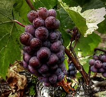We Group Up ~ Grapes ~ by Charles & Patricia   Harkins ~ Picture Oregon