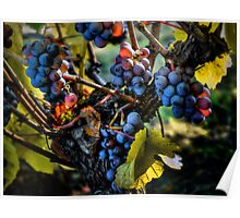 There Seems To Be Some Blue ~ Grapes ~ Poster