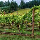 It's Where We Live ~ Vinyard Grapes ~ by Charles & Patricia   Harkins ~ Picture Oregon
