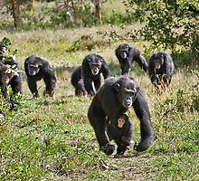running group of common Chimpanzees by travel4pictures