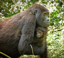mother with baby mountain gorilla by travel4pictures