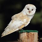 Barn Owl by Todd Weeks