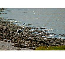 Alnmouth Heron Photographic Print