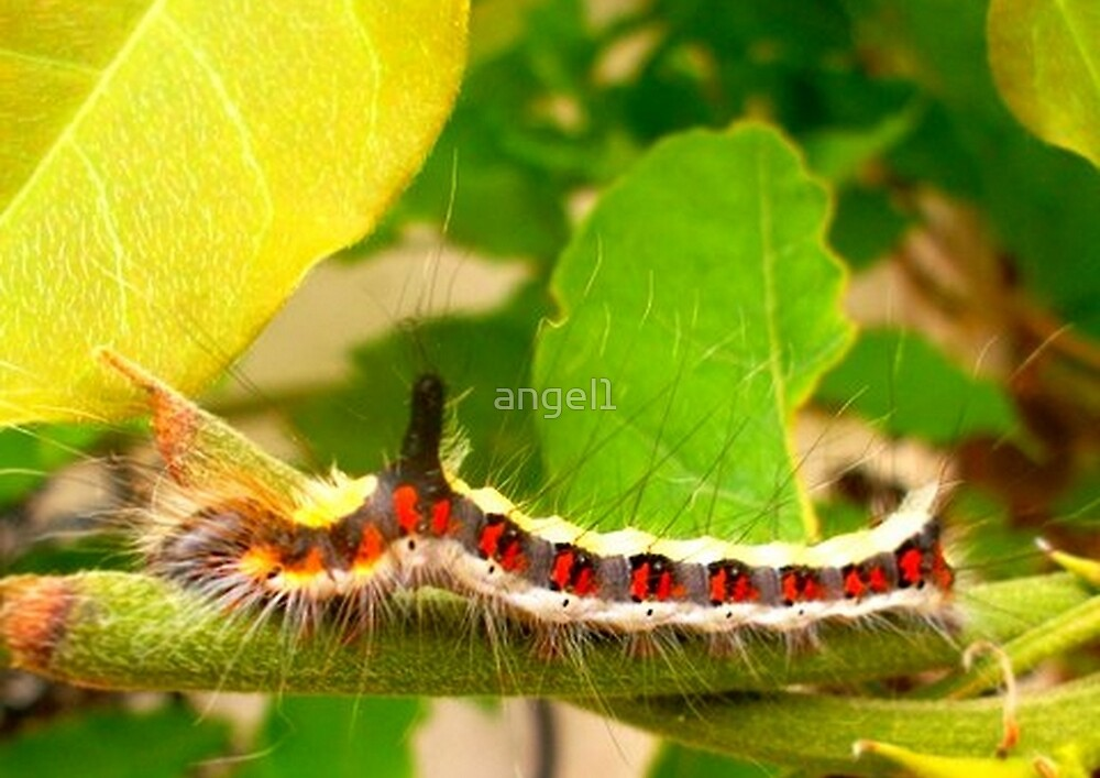Acronicta psi caterpillar by ©The Creative  Minds