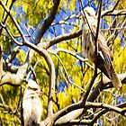 kookaburra and wattle tree by faithie