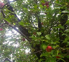 Upstate apple tree by ericalipper