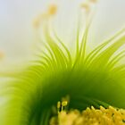 Big White Cactus Flower Macro Abstract 4 by photojeanic