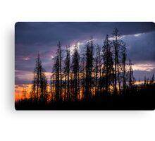 Bettle Kill Pines at Cottonwood Pass Canvas Print
