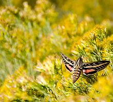 Sphinx Moth - Great Sand Dunes National Park, Colorado by Jason Heritage